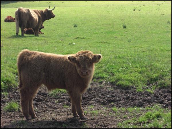 schottische Kühe
