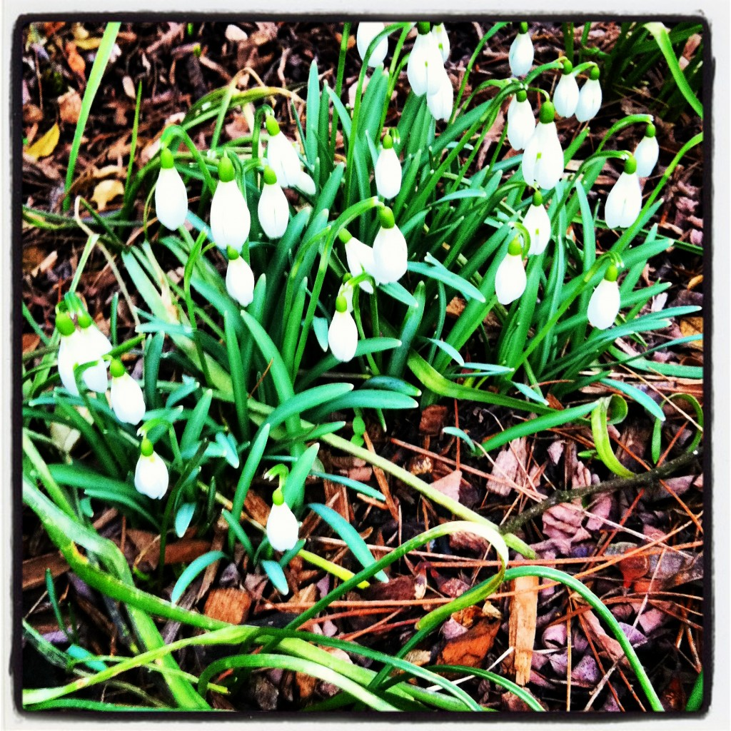 Schneeglöckchen und Frühlingsanfang