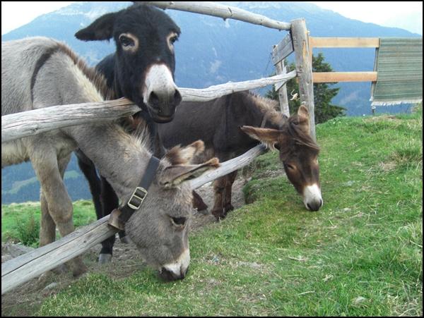 Esel auf der Galflunalm in Tirol