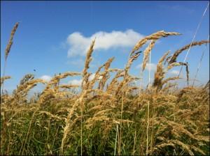 Gräser in der Heide