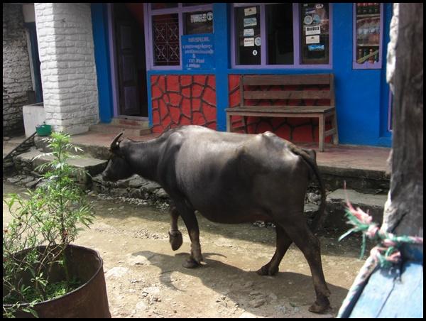 Kuh im Dorf Nepal