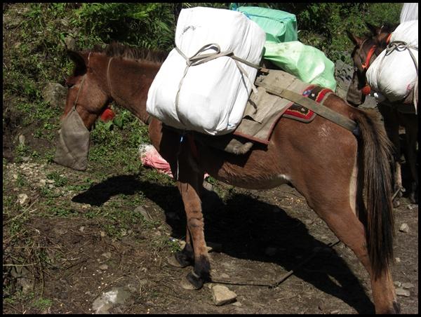 Esel in Nepal