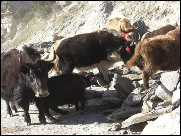 Yaks in Manang Nepal