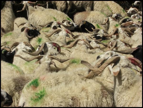 Ziegen und Schafe in Nepal