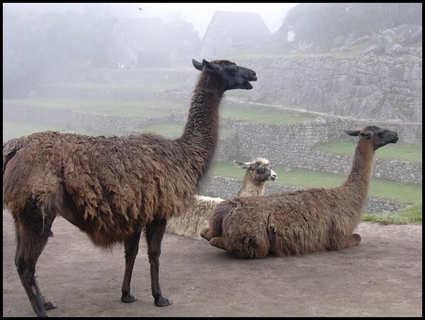 Lamas in Machu Picchu Peru