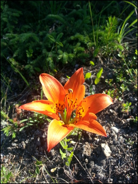 Lilie in Kanada