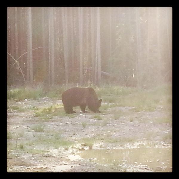 Bär in Banff