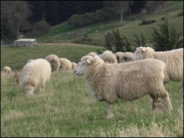Achtung, Beispielfoto, die abgebildeten Tiere haben nichts mit Icebreaker und dem getestetn Shirt zu tun! Außer wir hätten es mit einem sehr großen Zufall zu tun. Sie leben auf der Otago Peninsula.