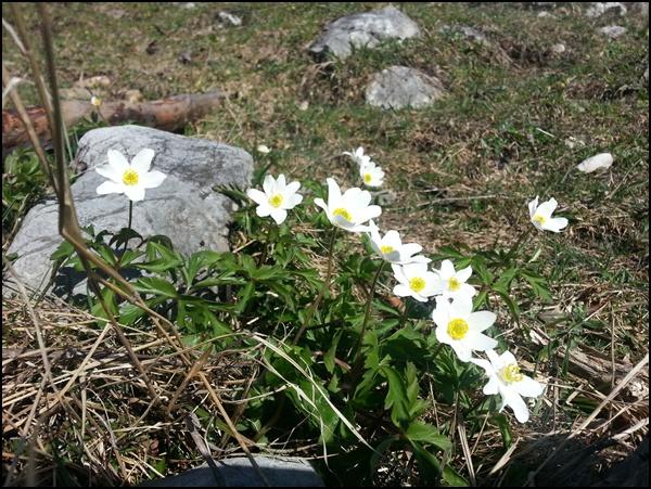 Frühlingsblumen in den Bergen
