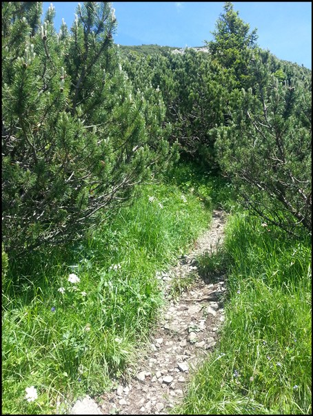 Latschenwald auf dem Weg zum Daniel