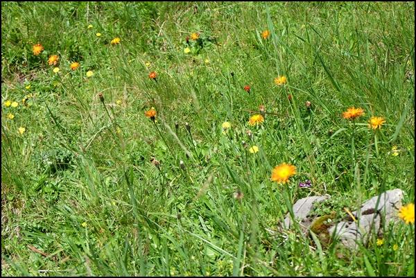 Alpen-Blumenwiese