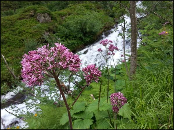 Blumen an der Gollinghütte