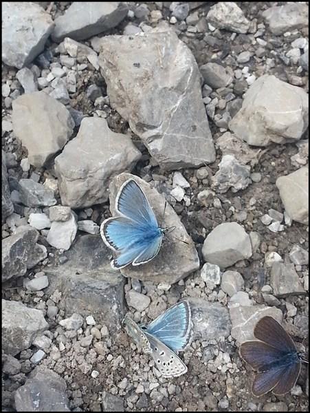Schmetterlinge in den Lechtaler Alpen