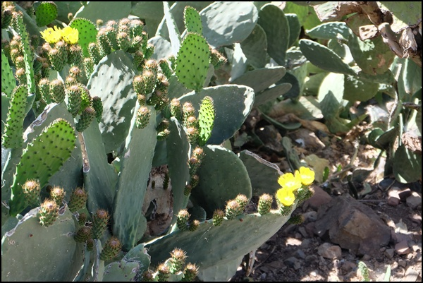 Kaktus Marokko