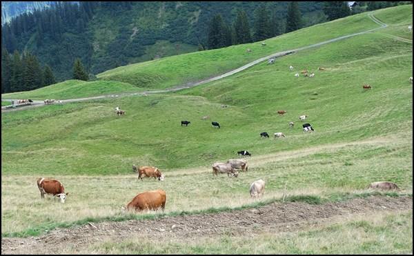 Kühe am Lug oberhalb von Au