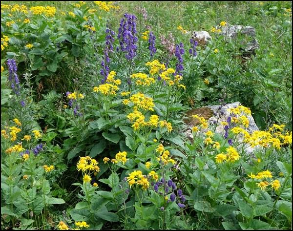 Alpenblumen in lilagelb
