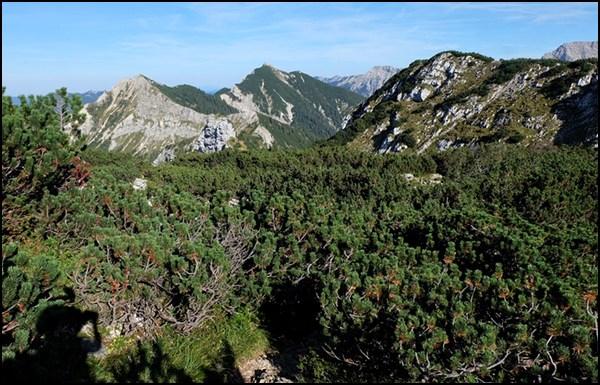 Latschen in den Ammergauer Alpen