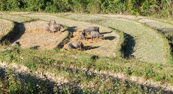 Büffel grasen auf abgeernteten Reisfeldern