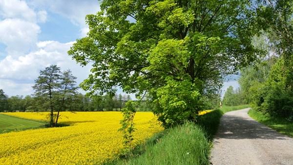Rapsfeld am Bockl-Radweg