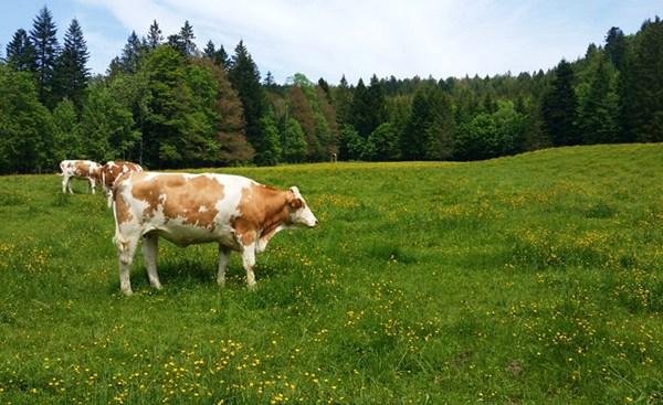 Kühe am Forsthaus Adlgaß
