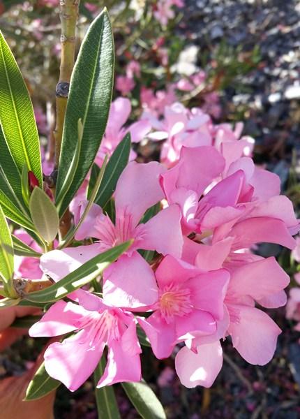 Wüsten-Blumen