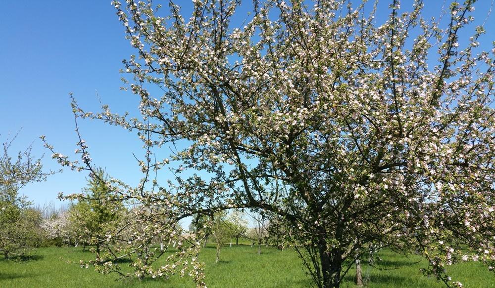 Frühling im Chiemgau - endlich blühen die Obstbäume