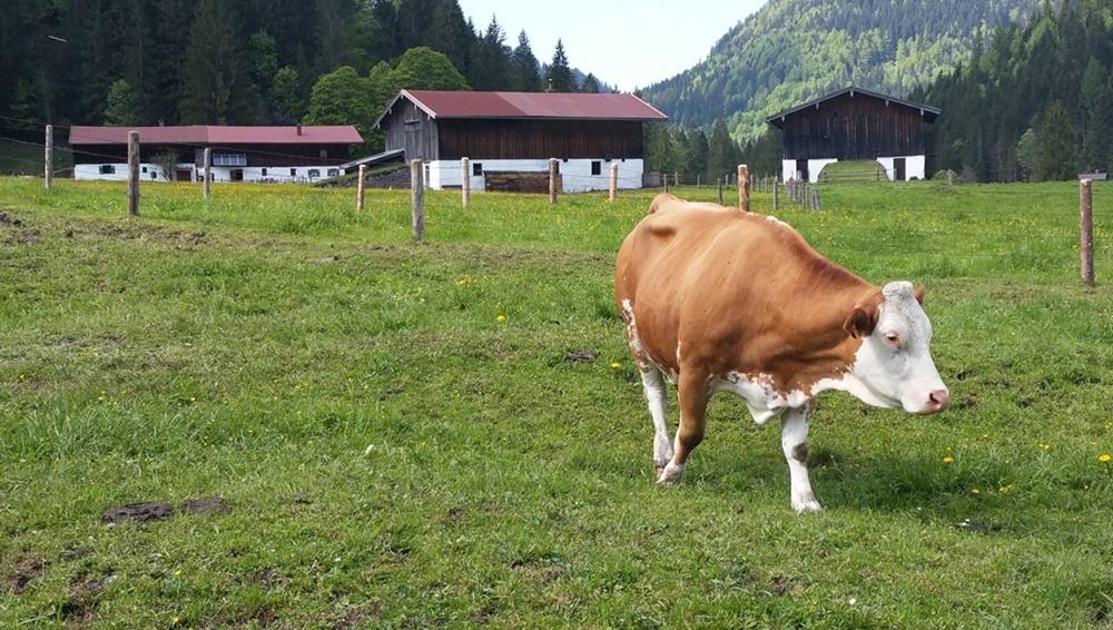 Heimweg übers Röthelmoos - die Kühe sind da!