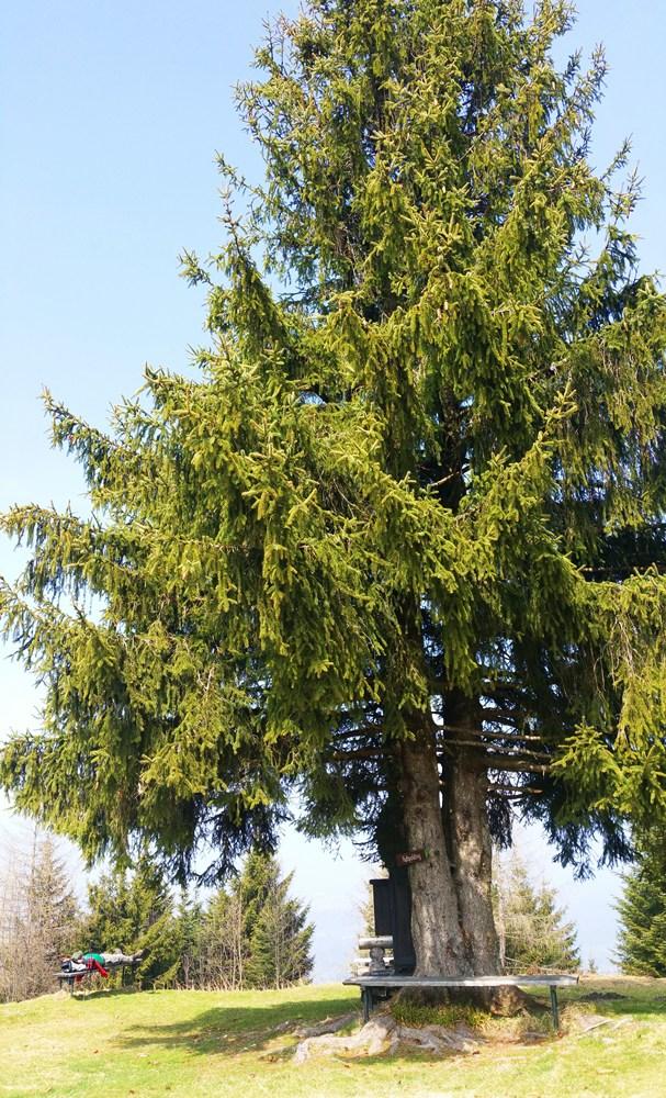 Der Gipfelbaum am Zinnkopf bei Ruhpolding