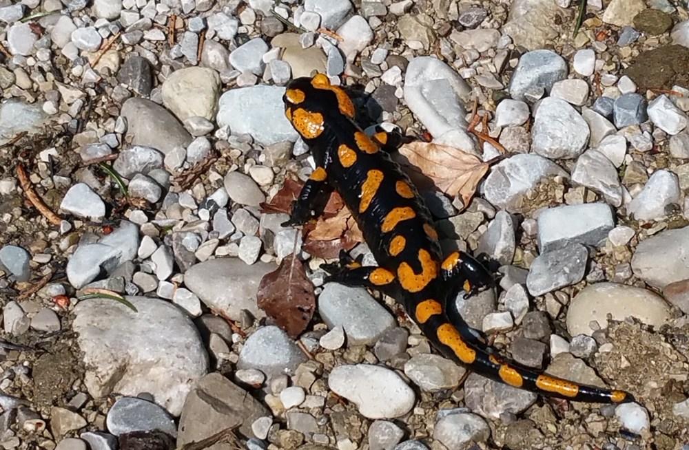 Schwarz-gelber Salamander