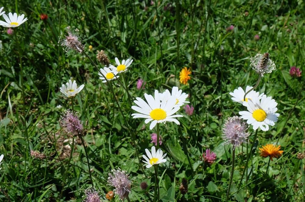 Berg-Blumenwiese