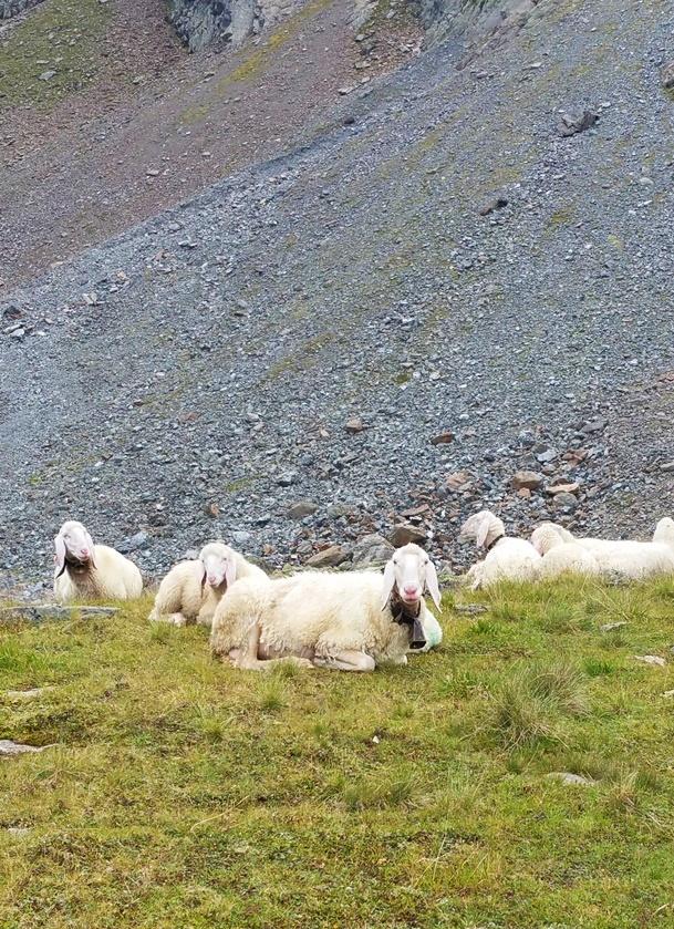 Die Schafe vom Hauersee, auf 2.383 m, im Ötztal/ Tirol.