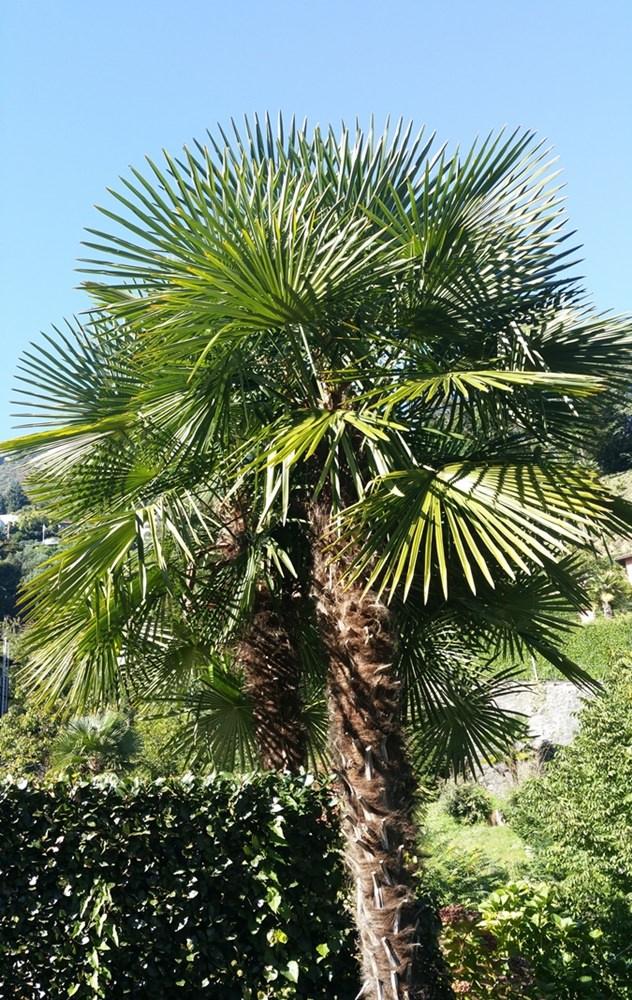 Schweizer Palme, südliches Flair in Locarno | Tessin, Schweiz
