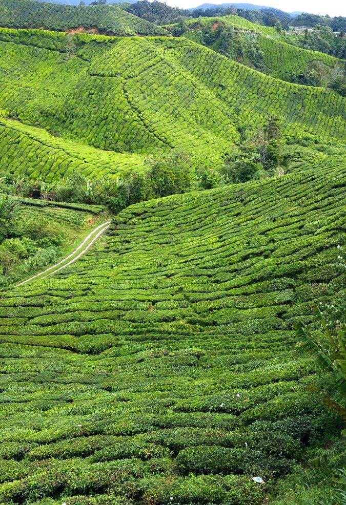 Teeplantage bei Tanah Rata | Cameron Highlands, Malaysia