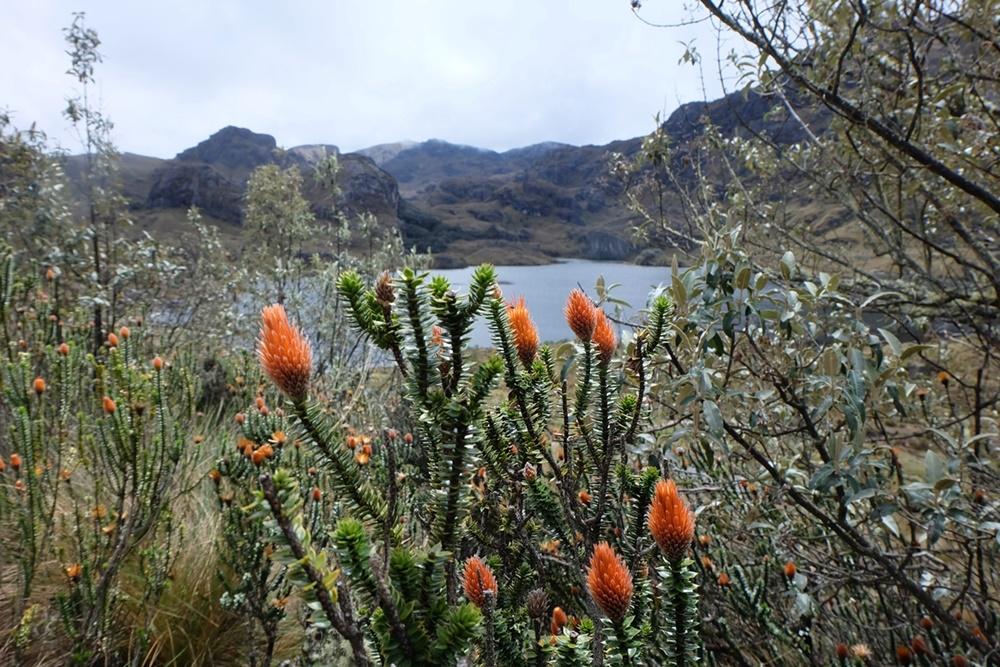 Blühende karge Schönheit: im Cajas Nationalpark