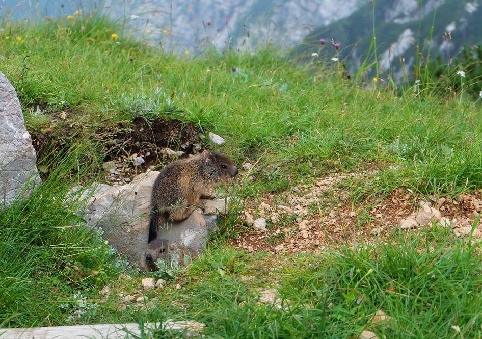 Drei kleine Murmeltiere und ihre Mutter spielen am Weg zum Hirschwieskopf. Unvergesslich toll!