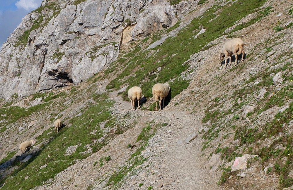 Aufstieg zur Wiener Neutstädter Hütte im Abendlicht in Schaf-Begleitung | Zugspitze