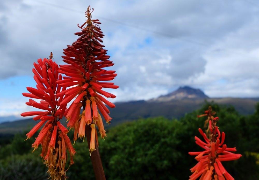 Blumen und Vulkane, in der Paramo Hochebene in der Nähe des Cotopaxi Nationalparks in Ecuador