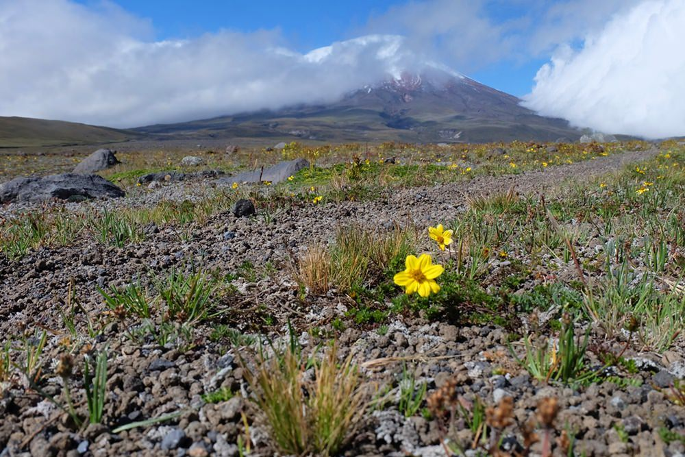 Blumen vor dem Cotopaxi | Cotopaxi Nationalpark, Ecuador