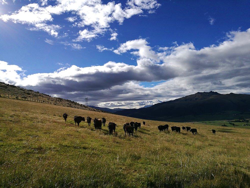Rinder auf den Feldern der Hacienda - Alltag in Ecuador