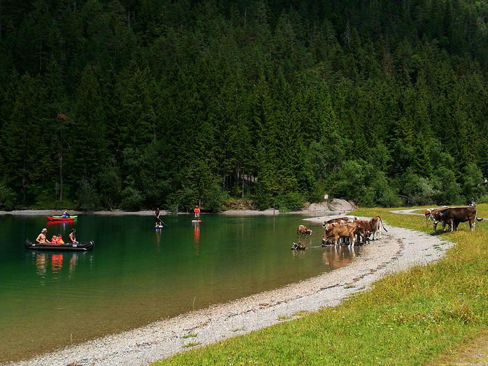 Kühe am Heiterwanger See! Ein Highlight bei Rund um den Daniel.