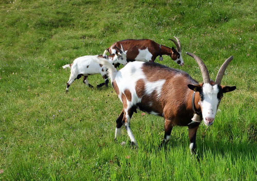 Tierische Begegnung auf dem Muhs Panoramaweg am Lasörling | Virgental, Österreich