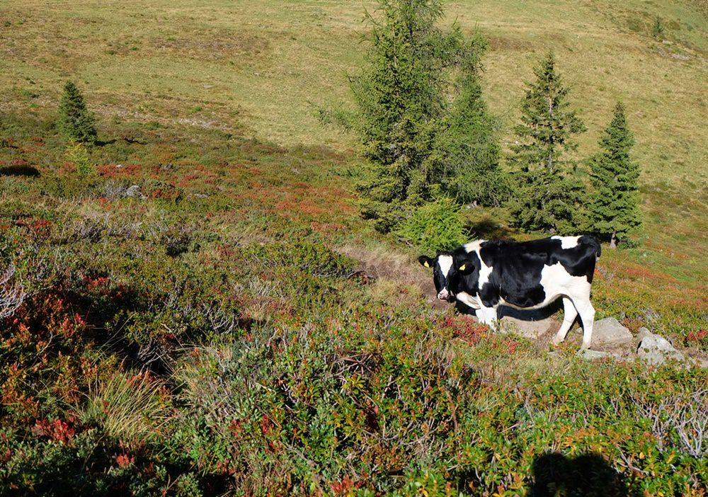 Almbewohner beanspruchen den Wanderweg für sich, die Besucher weichen aus... | Ridnautal, Südtirol