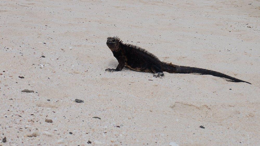 Dinosaurier unterwegs auf Santa Cruz | Galapagos