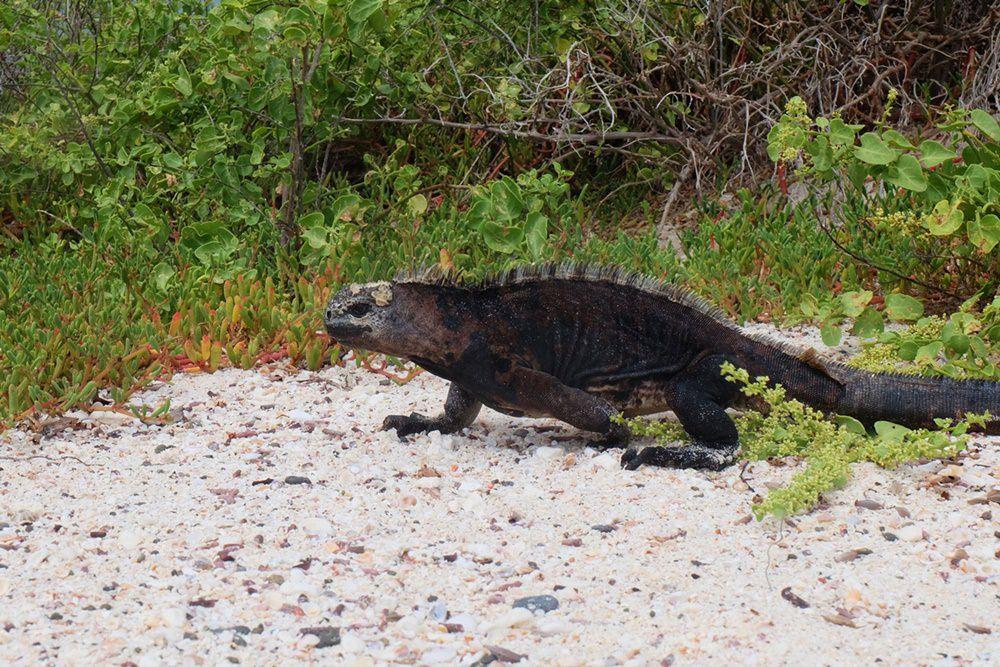 Die Tiere in Galapagos: eine Echse an der Nordspitze von Santa Cruz