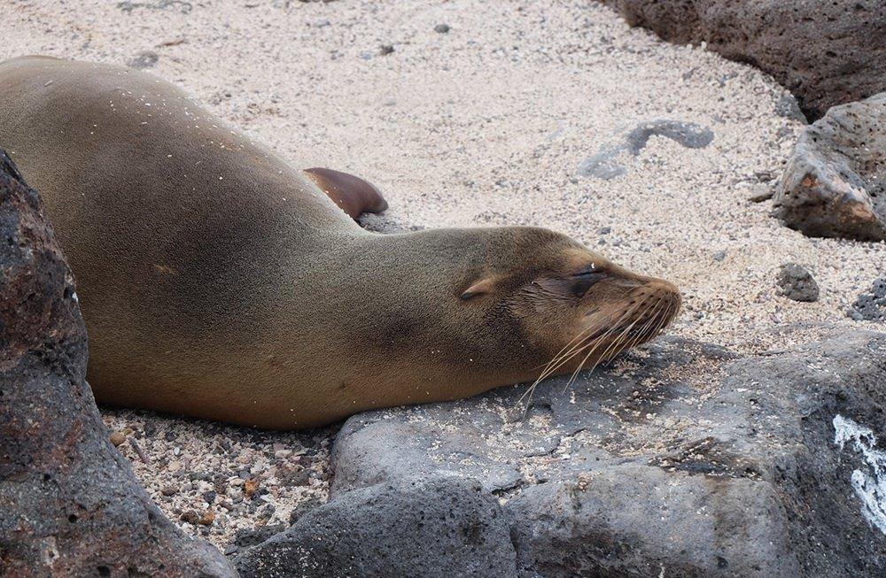Seelöwe auf seiner Insel. | Galapagos
