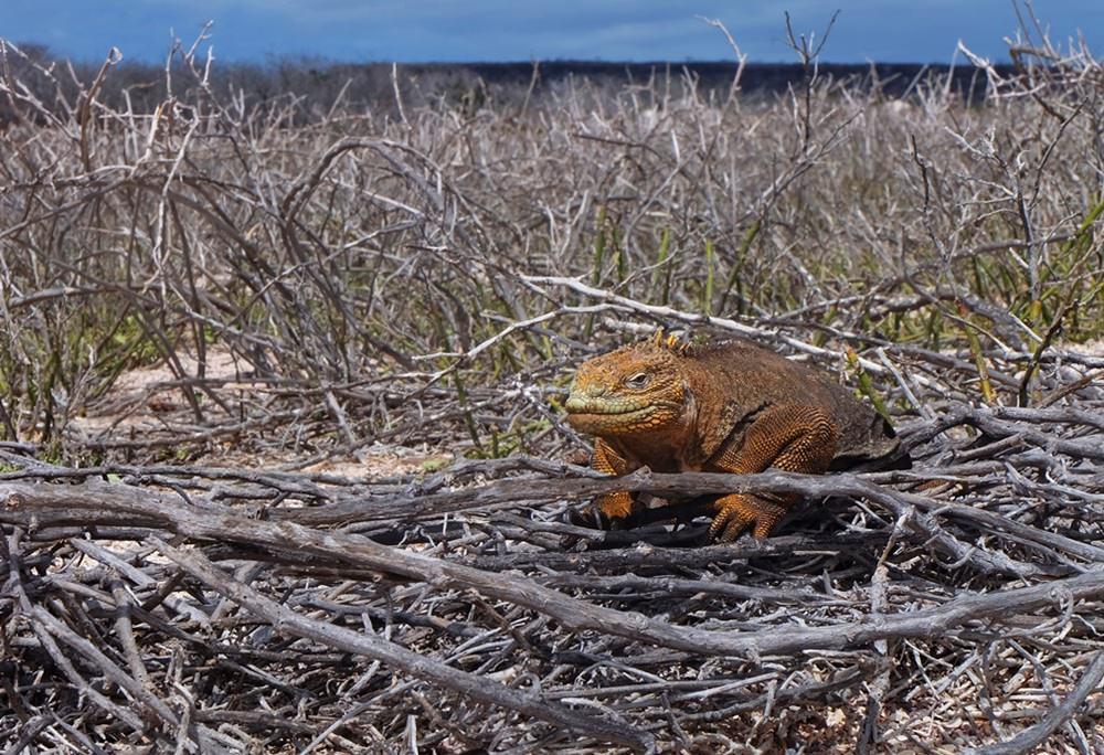Gut getarnt sitzt der Iguana auf Seymour Norte im Gestrüpp | Galapagos