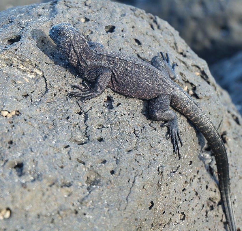 Gut getarnt obwoh es keine natürlichen Feinde gibt: Echsen in Galapagos