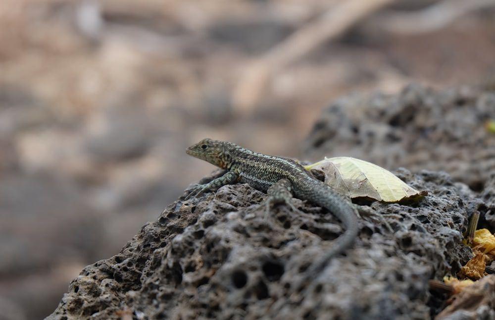 Es gibt sie auch in Mini, die Echsen in Galapagos.
