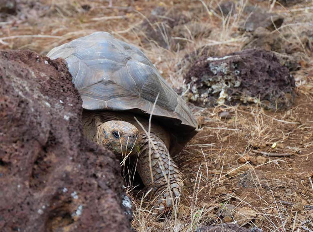 Träge Insel-Bewohner: Riesen-Schildkröte auf den Galapagos Inseln