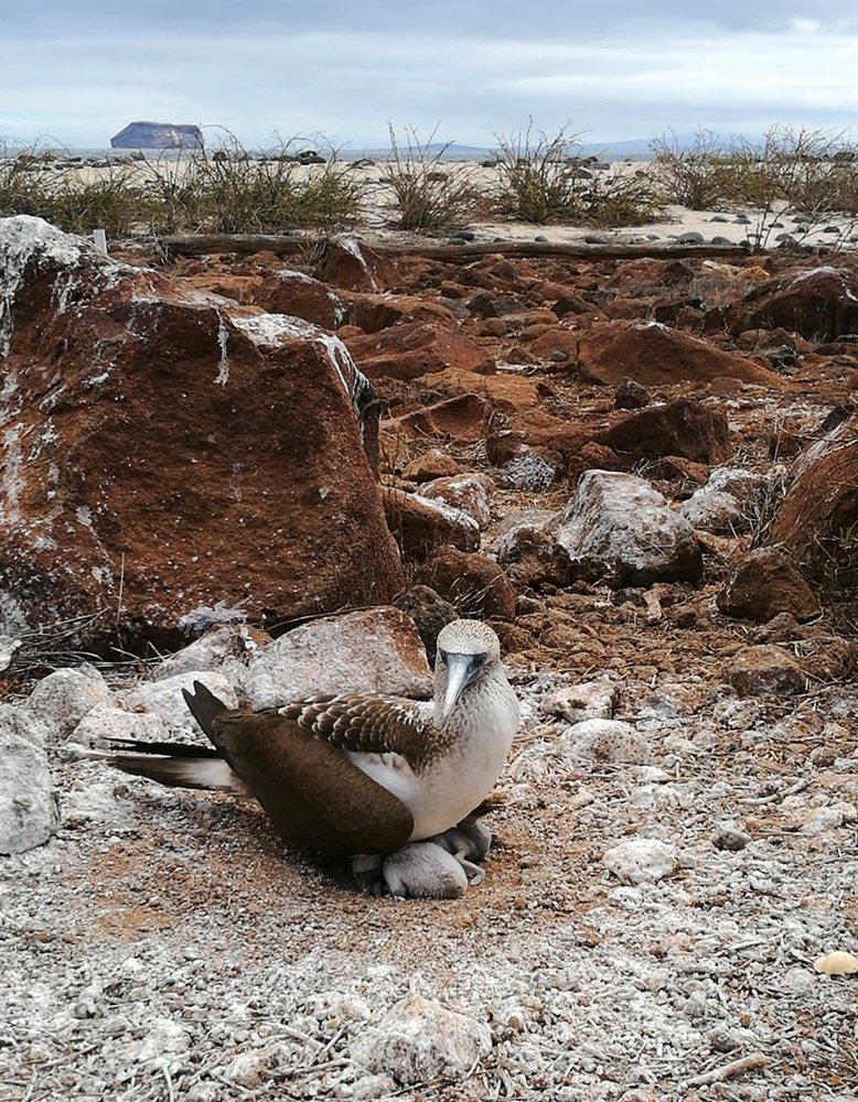 Eier ausbrüten auf Seymour Norte, Galapagos.